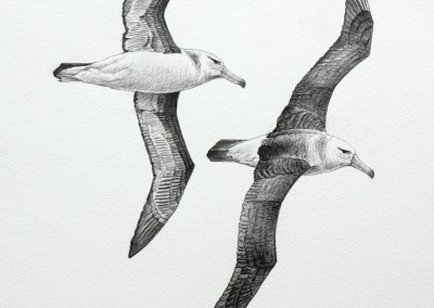 Immature Black-browed Albatrosses