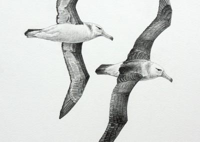 Immature Black-browed Albatrosses