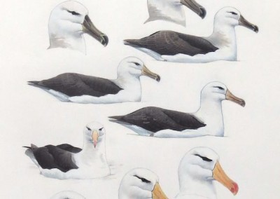 Black-browed Albatrosses - on water