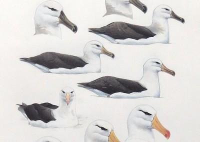 Black-browed Albatrosses - on water