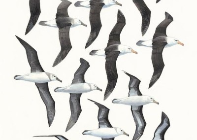Black-browed Albatrosses - flight