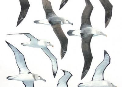 Shy Albatrosses - flight