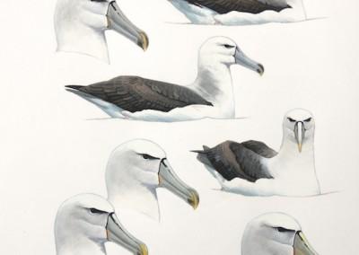Shy Albatrosses - on water