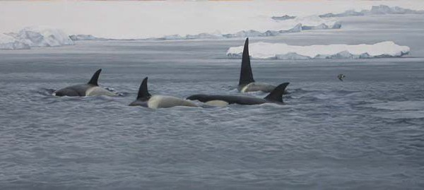 Killer Whales patrolling the pack ice