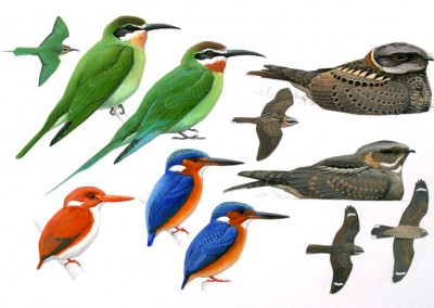 Kingfishers, Bee eaters and Nightjars