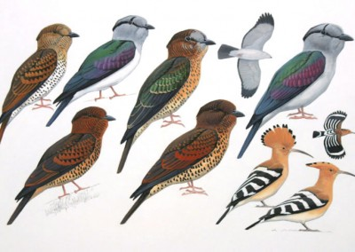 Cuckoo-rollers and Hoopoe