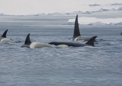 Orcas patrolling the pack ice