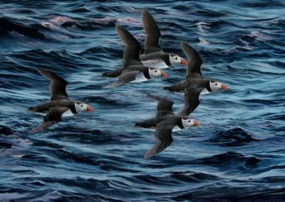 Puffins at sea